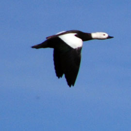 Female Paradise Shellduck in flight