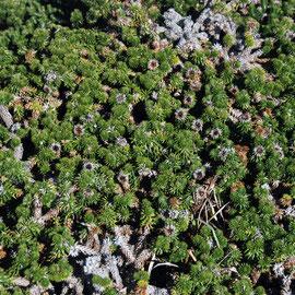 Fynbos plant