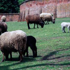 Mount Vernon spring lamb