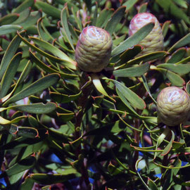 Detail of Cone Bush (Leucadendron)
