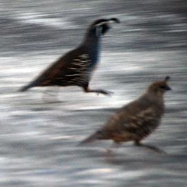 Californian Partridge