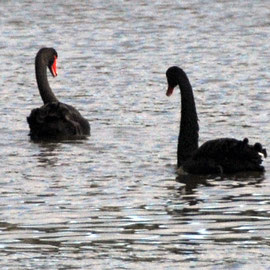 Black Swans number 50,000 but have changed habitats due to eutrophication of most lowland lakes