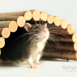 Ratte Fienchen erkundet den Tisch