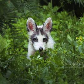 Fuchswelpe Aurora im Dschungel