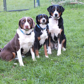 Sennenhunde in schwarz und havannabraun