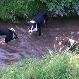 Sennenhunde im Wasser