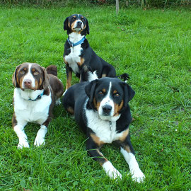 Appenzeller Sennenhunde im Rudel