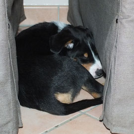 Appenzeller Sennenhunde aus dem Flößerdorf