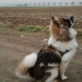 Dobby jetzt Dobbi ist auch ein schöner Rüde geworden ( ca 40 cm )