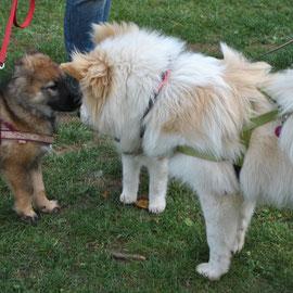 Nash mit seiner Halbschwester, Gitana vom Wolfsberg