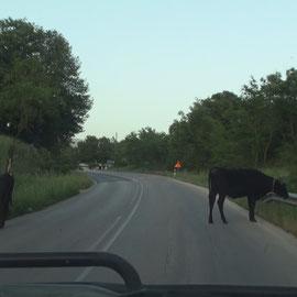 des vaches sur la route