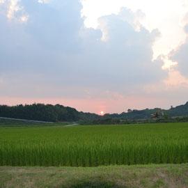 大池の土手の西 れんげいじファームに沈む夕日と きれいに出揃った稲の出穂風景