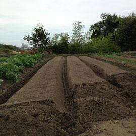 M5区画 カボチャやゴーヤなど夏野菜を片づけて 秋冬野菜の土作りも終えて畝立てしたところです。大根などを計画されているそうです。機械成型した直後のスナップですがたった1年で土作りも抜群! りっぱな大根が収穫できそうですね。
