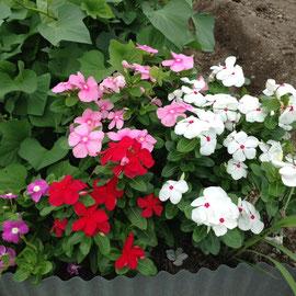M1区画 暑い夏でもしっかり咲いて、乾燥や日照りにも強く、冬以外咲き続ける花です。
