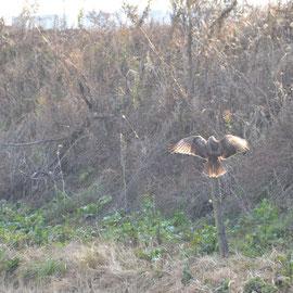 朝の食餌狙いのノスリ 15mの位置から撮影