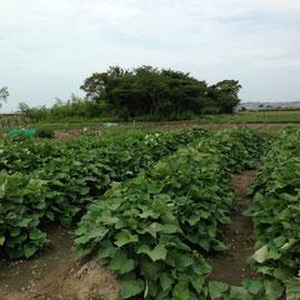 M5区画 この1週間で一気にサツマイモの蔓に力強さがでてきました。子供会での収穫祭が楽しみです。