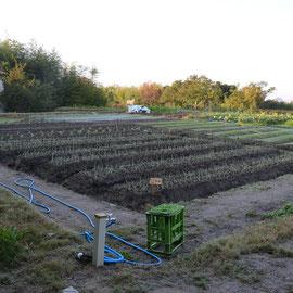 L17区画 これも春野菜の玉ねぎの定植 この時期にこのように定植すると満点かもしれません。