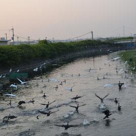 大池の鷺の群れ 人影で飛び立つ大池のアオサギ、シラサギの大群の朝食風景 毎日100羽近い群れが集まるのは鳥たちの餌が豊富なのでしょう。