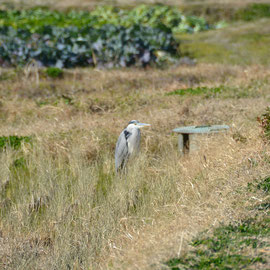 じっとして動かない灰色サギ 5mの位置から撮影