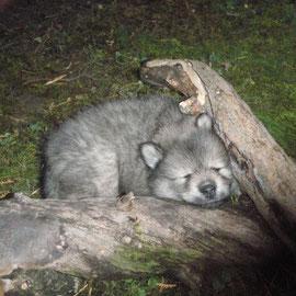 Alaska beim Nickerchen