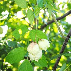 Die Pimpernuss hat schon Früchte