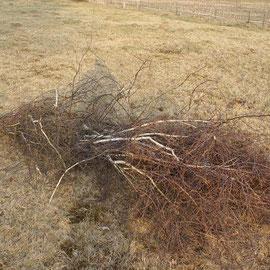 Birkenbusch fürs Nest