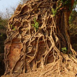 Eine von Wurzeln umschlugene Ruine.