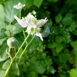 Brombeerblüte mit Florfliege