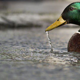 dripping duck