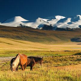 Wilde Pferde, Mongolei