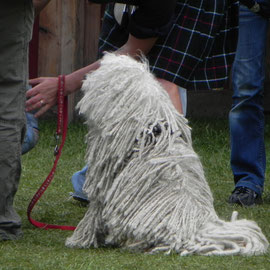 Dreadlockhund