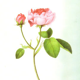 Älteste Rose Steinfurths: PERLE VON WEISSENSTEIN, Foto Sammlung Gerda Bonarius, Rosisten Steinfurth