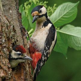 08. Juni - der letzte Jungvogel im Nest, der letzte Vormittag meiner Beobachtung.