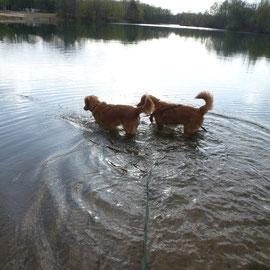 Nova Scotia Duck Tolling Retriever Nita und Sitka erobern jedes Mal mehr das Wasser