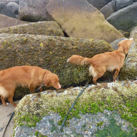 Nova Scotia Duck Tolling Retriever auf Entdeckungstour! Sachen-Sucher unter sich!