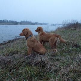 Toller Nita und Sitka halten Ausschau über die Weser