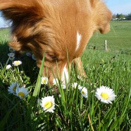Sitka pflückt sich wieder ein paar Gänseblümchen :-)
