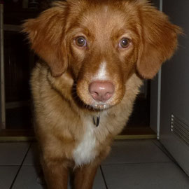 Mariendals Red Nose Snoki Nita, Hündin,  Nova Scotia Duck Tolling Retriever 5 Monate alt