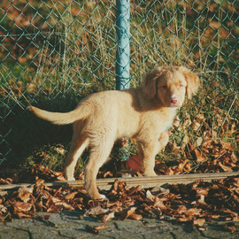 Toller Felix Nova Scotia Duck Tolling Retriever