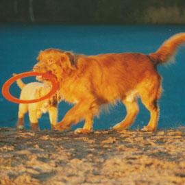 Toller Nova scotia Duck Tolling Retriever www.tollertoller.de Trofast mit Welpe Felix