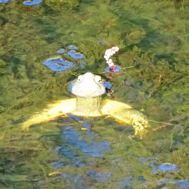 die Wasserschildkröten mögen keine hektischen Bewegungen am Ufer, aber wenn ich lange genug still sitze, tauchen sie wieder auf und sonnen sich