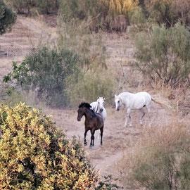dann eine kleine Freude für mich ... plötzlich tauchten mehrere Pferde zwischen dem Buschwerk und den Bäumen auf!