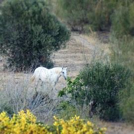 es erscheint wie ein kleines Pferdeparadies, das Grünland rund um Cacela Velha