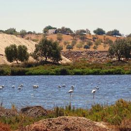 entspannte Flamingos sind an den Salzseen von Castro Marim zu bestaunen