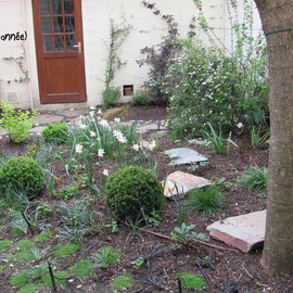 Les narcisses (Narcissus triandra talia) et la spirée prennent le relais