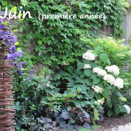 La clématite et les hydrangeas poursuivent les floraisons