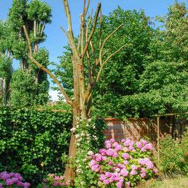 Rosier liane planté en pot de 3L en 2017 pour coloniser cet arbre mort que j'ai choisi de conserver pour des raisons écologiques, photo juillet 2018