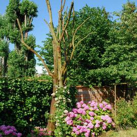 Rosier liane et hortensias (Hydrangea macrophylla)