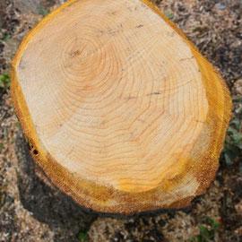 O_No.20_Tree rings