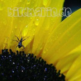 408.m.-makro sonnenblume käfer